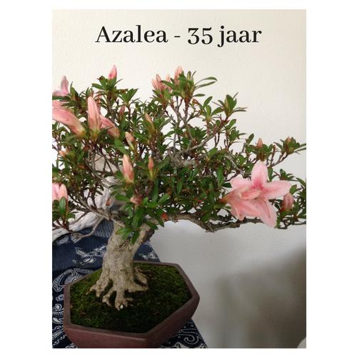 afb Bonsai Azalea
