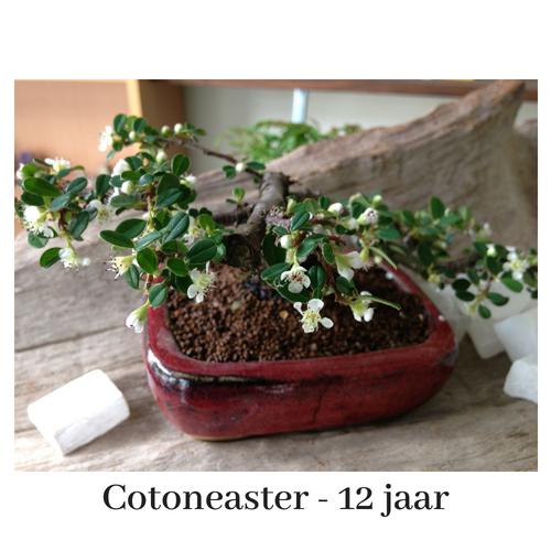 afb Bonsai Cotoneaster