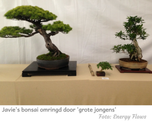Bonsai Javie in show