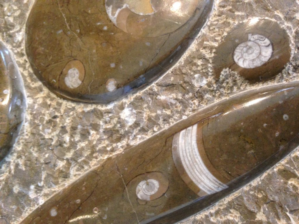 afb fossiel Orthocoras-Goniatiet
